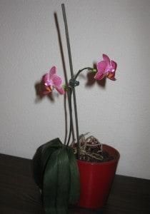 ... festgestellt, dass Dünger doch eine positive Wirkung auf die Blühkraft von Orchideen ausübt...