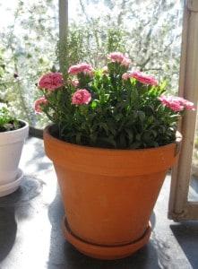 Diverse einjährige, hübsche Blüemli eintopfen...