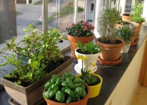 ... im grossen Stil angepflanzt, umgetopft, zurückgeschnitten und angegossen...