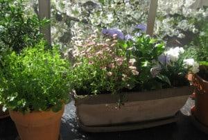 Dann das Blumenkistli neu ansetzen und die überwinterten Blumen hervorholen!