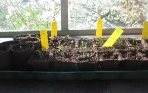 ... die ersten Keime (Sonnenblumen, Zinnien, Wucherblumen, Spinat und Erbsen) anfeuern...