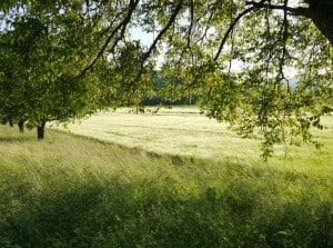 Epische Bäume mit epischem Weizenfeld.