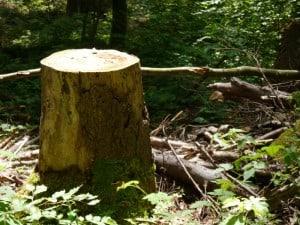 Ein Baumstrunk, ganz recht.