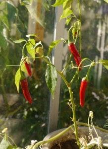 Reif: Chilis.