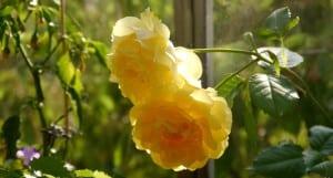... woruaf sich Wurzeln bildeten, welche ich eintopfte und nun zwei herrliche Blüten hervorbrachte!